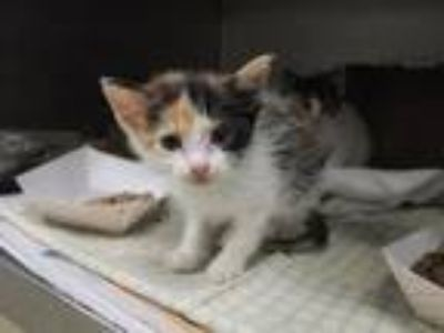 Adopt ELLIE a Domestic Medium Hair
