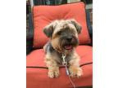 Adopt Vinny a Yorkshire Terrier