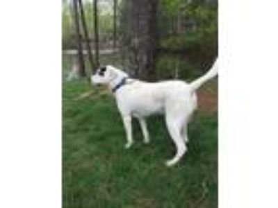 Adopt Chipper a White - with Black Jack Russell Terrier / Mixed dog in Cumming