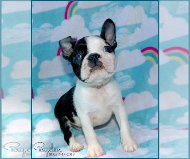 Boston Terrier PUPPY FOR SALE ADN-129287 - Payden AKC