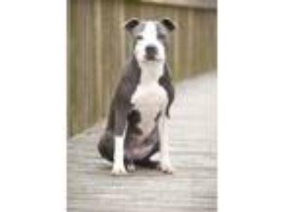 Adopt Blue Bonnet a Gray/Blue/Silver/Salt & Pepper Pit Bull Terrier / Mixed dog