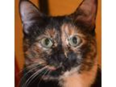 Adopt Betsy 2018 a Tortoiseshell Domestic Shorthair / Mixed (short coat) cat in
