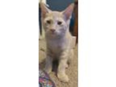 Adopt Simba a Tan or Fawn American Shorthair / Mixed cat in Avondale