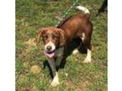 Adopt Sunny a Brown/Chocolate - with White Hound (Unknown Type) / Mixed dog in