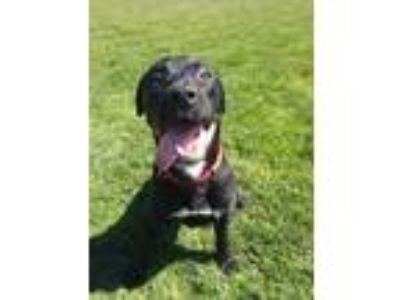 Adopt ZAYN a Black Labrador Retriever / Mixed dog in Tangent, OR (24808563)