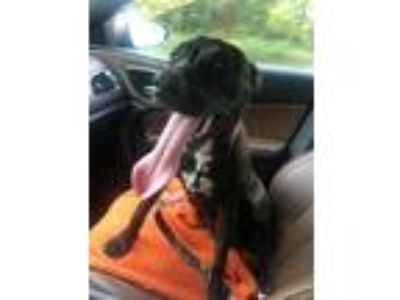 Adopt Cocoa a Brindle - with White Labrador Retriever / American Pit Bull