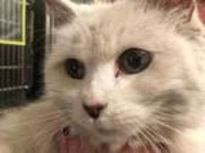 Adopt SHEBA a White Domestic Longhair / Mixed (long coat) cat in Tavares