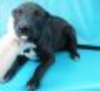 Scarlett Labrador Retriever Dog