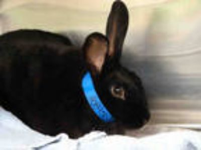 Adopt a Black Other/Unknown / Mixed rabbit in Waco, TX (25563008)