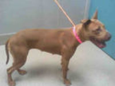 Adopt *KONA a Brown/Chocolate American Pit Bull Terrier / Mixed dog in Las