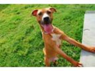 Adopt A663997 a Pit Bull Terrier, Mixed Breed
