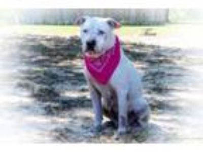 Adopt Tina a American Staffordshire Terrier
