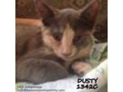 Adopt Dusty a Calico / Mixed (short coat) cat in Spring, TX (23860360)