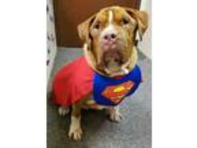 Adopt Trigger a Red/Golden/Orange/Chestnut - with White Pit Bull Terrier / Mixed