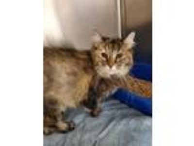 Adopt LuLu a Brown Tabby Maine Coon / Mixed cat in Cottonwood, AZ (25306992)
