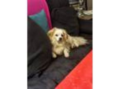 Adopt Noah a Tan/Yellow/Fawn - with White Spaniel (Unknown Type) / Mixed dog in