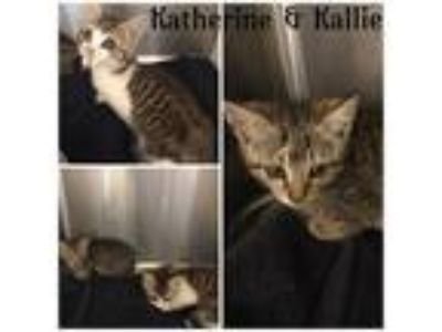 Adopt KATHERINE a Black (Mostly) Domestic Shorthair / Mixed (short coat) cat in