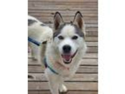 Adopt Loba a Husky dog in Highlands Ranch, CO (25546730)