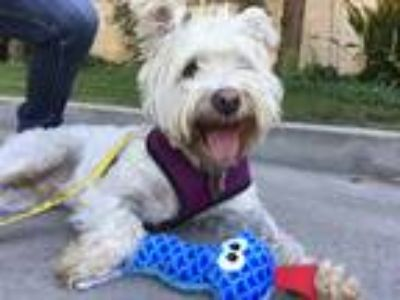 Adopt Harry a White Schnauzer (Miniature) / Cairn Terrier / Mixed dog in Los