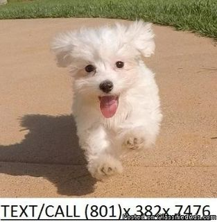 Impartially Maltese puppies Available Now