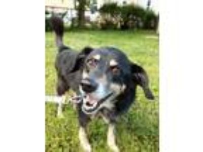 Adopt Ash a Border Collie, Mixed Breed