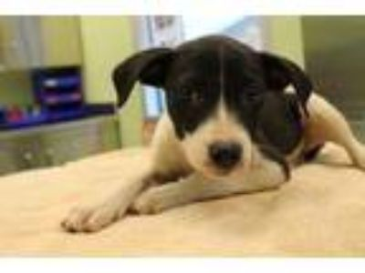 Adopt Sunkiss a Black Terrier (Unknown Type, Small) / Australian Cattle Dog /