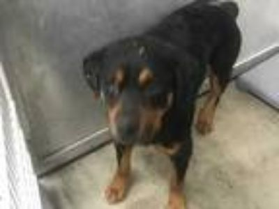 Adopt 41602093 a Black Rottweiler / Mixed dog in Fort Worth, TX (25235298)