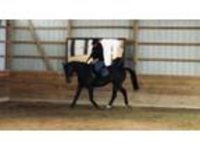 Stormy Ledger Fun All Around 2009 OTTB Gelding