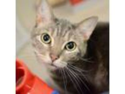 Adopt Kitkat a Gray or Blue Domestic Shorthair / Mixed cat in Arlington