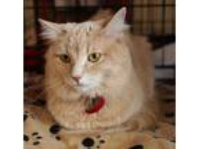 Adopt Cashmere a Orange or Red (Mostly) Domestic Mediumhair (medium coat) cat in