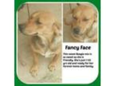Adopt FANCY FACE a Beagle