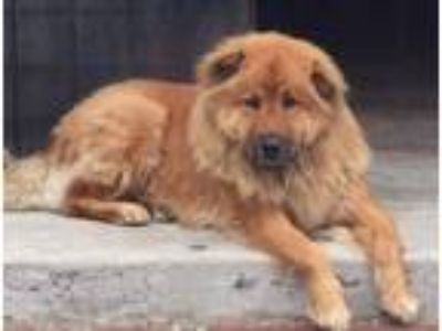 Adopt Chili a Red/Golden/Orange/Chestnut Chow Chow / Golden Retriever / Mixed