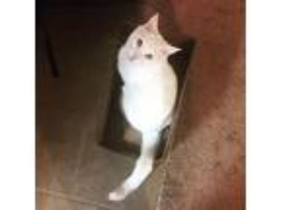 Adopt Captain PurrPants a White Turkish Van / Mixed cat in Chesterton