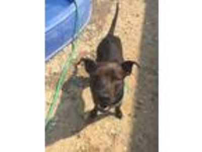 Adopt Blackie a Labrador Retriever