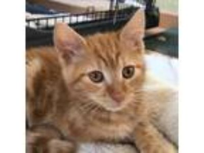 Adopt Cheetos a Orange or Red (Mostly) Domestic Shorthair / Mixed (short coat)