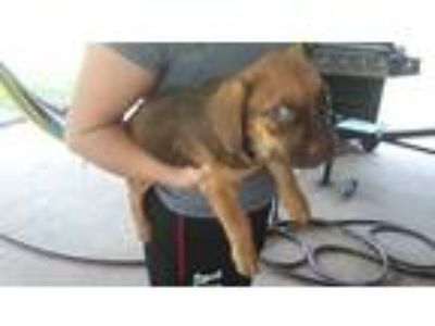 Adopt a Tan/Yellow/Fawn - with Black Labrador Retriever / Bloodhound / Mixed dog