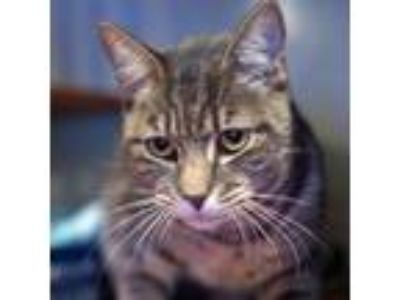 Adopt Snookums a Gray or Blue Domestic Shorthair / Domestic Shorthair / Mixed