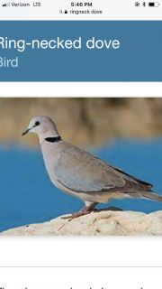 Looking to buy a pair of ring neck doves or any kind of dove