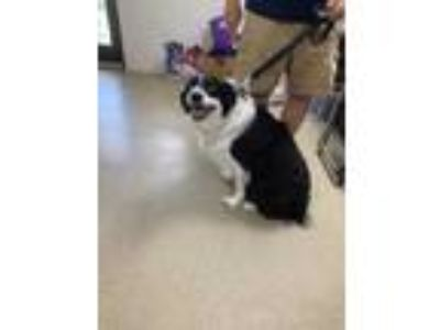 Adopt PAYTON a Black Shepherd (Unknown Type) / Border Collie / Mixed dog in Fort