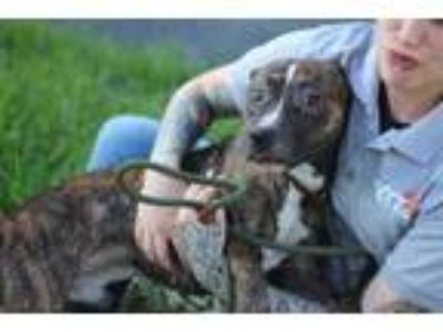 Adopt hunter a Brindle Terrier (Unknown Type, Small) / Mixed dog in