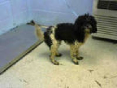 Adopt OREO a White - with Black Pekingese / Poodle (Miniature) / Mixed dog in