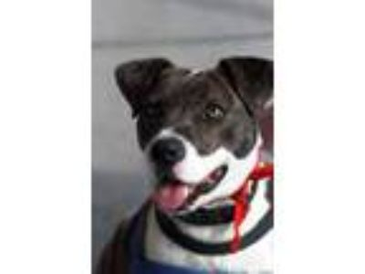 Adopt Ellie May a Pit Bull Terrier, Hound