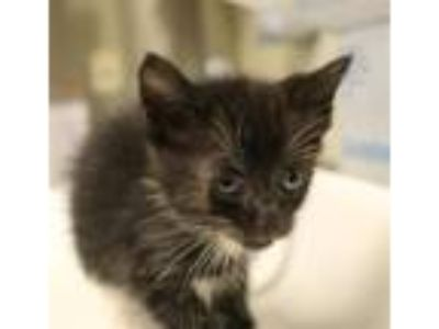 Adopt Nf-10 a Domestic Short Hair