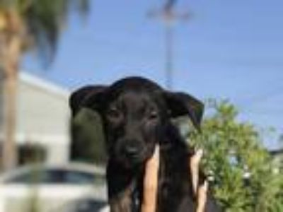 Adopt Kylo a Black Labrador Retriever / Mixed dog in Long Beach, CA (23172856)