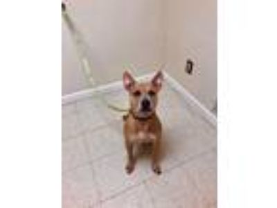 Adopt Scooby Doo a Pit Bull Terrier