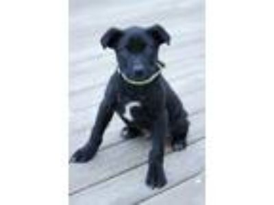 Adopt Ivan a Black - with White Labrador Retriever / Mixed dog in Waldorf