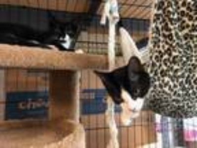 Adopt Maple and Pine 2019-30 a Domestic Short Hair