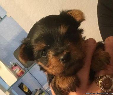 Yorkshire Terrier babies 4 sale $4
