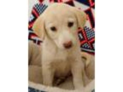 Adopt Blanche a Golden Retriever, Yellow Labrador Retriever