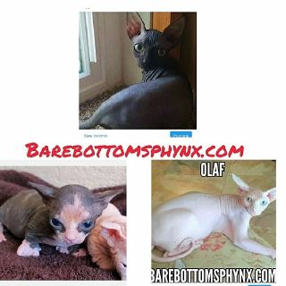 Bambino kitten's Tica.org registered cattery barebottomsphynx.com